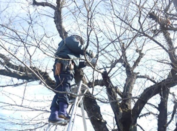 枝の剪定痕にも殺菌剤を塗布