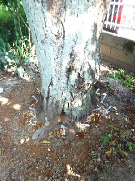樹体に穴をあけて農薬を注入