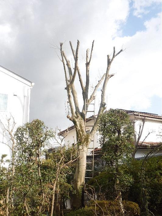 樹木の防御機構を活かした剪定