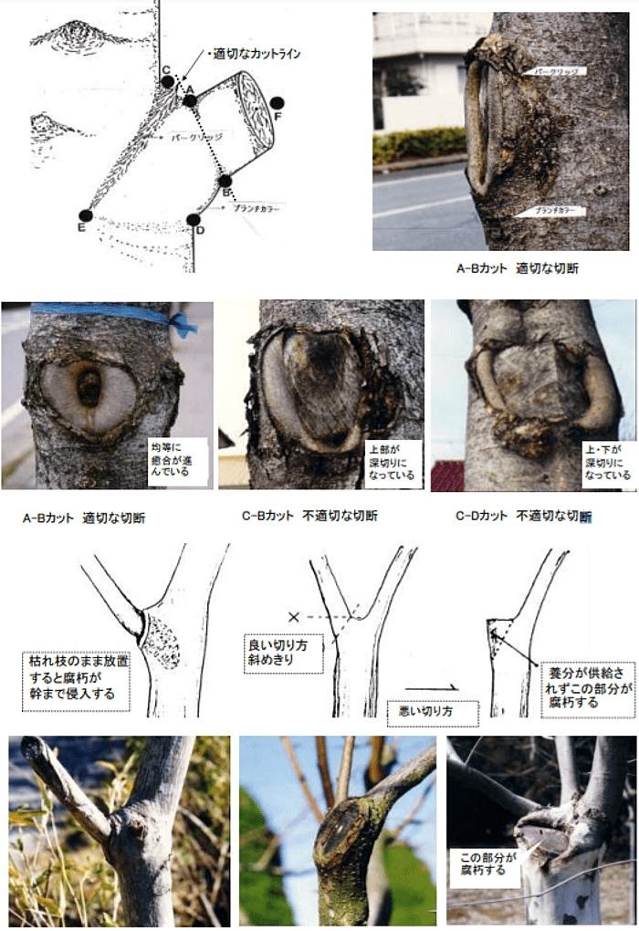 樹木の防御機構を活かした剪定方法