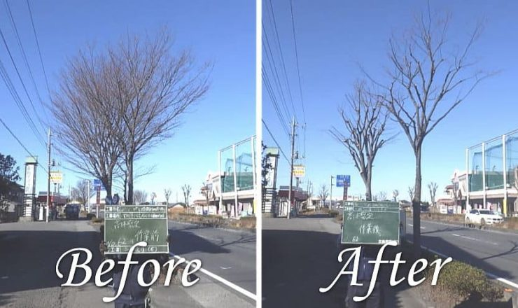 埼玉県様より125号バイパス街路樹のケヤキ高木剪定作業