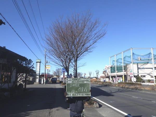 125号バイパス高木欅剪定前