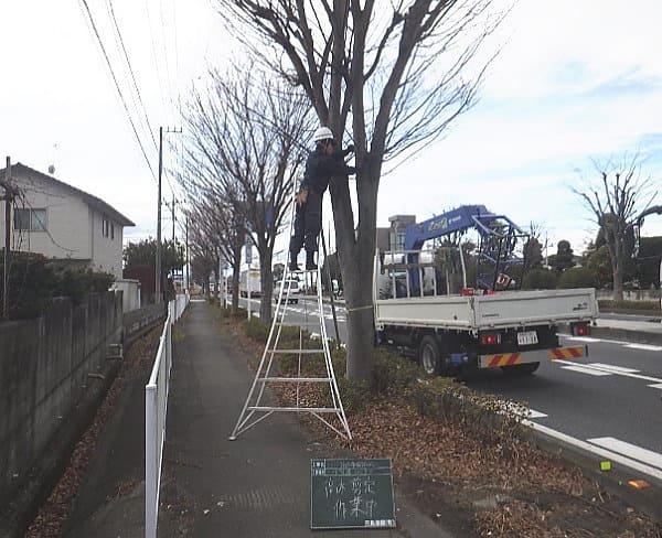 ケヤキ剪定作業風景