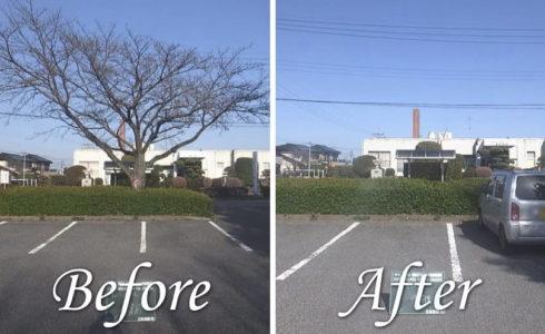 行田市役所様 クビアカツヤカミキリの被害防止に向けたサクラの伐採作業