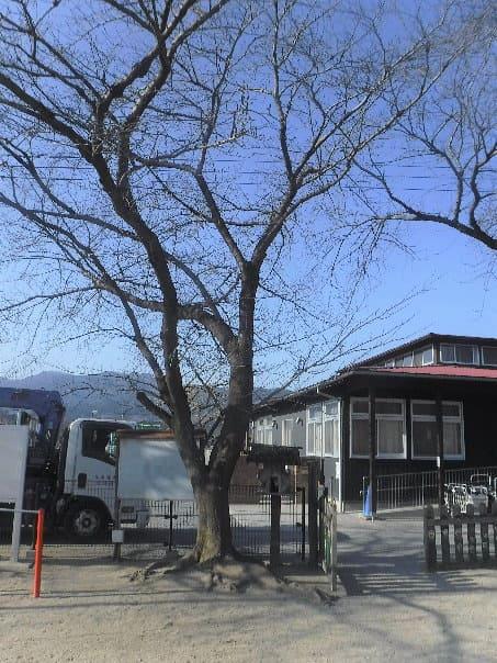 寄居町k保育園サクラ樹勢回復作業ビフォー