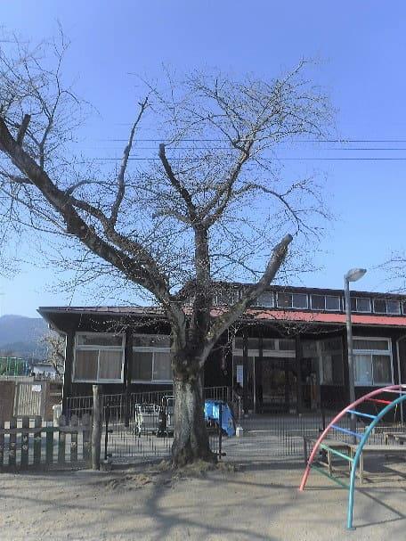 寄居町k保育園サクラ回復作業ビフォー