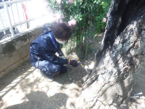 サクラに薬剤(ウッドスター)の樹幹注入