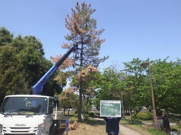 クロマツの伐採