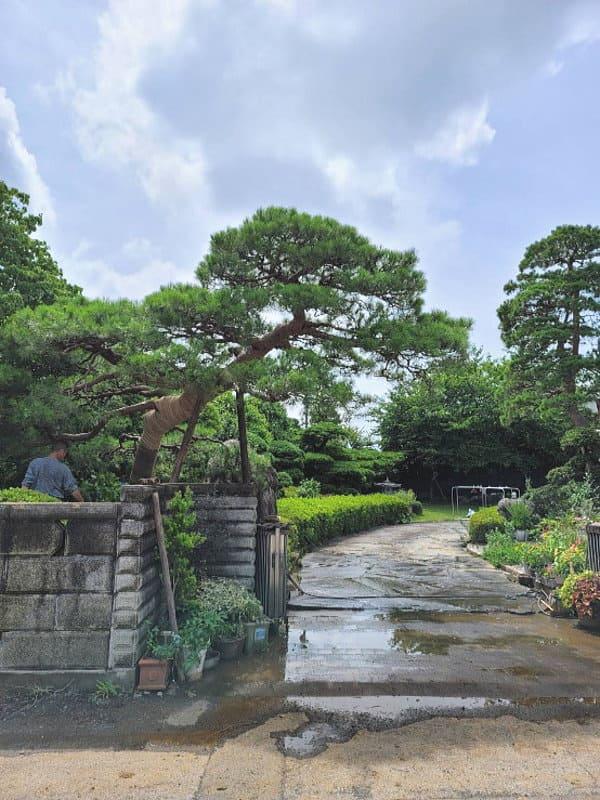 松の木は常緑であり長寿である、という特徴にあります