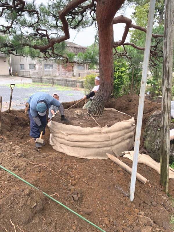 根鉢を作り、鉢が崩れないよう、根巻きを行います