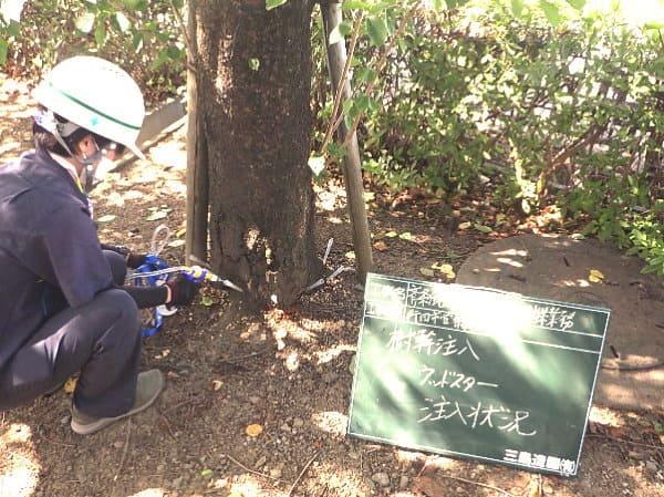 ソメイヨシノ樹体にドリルで穴をあけます