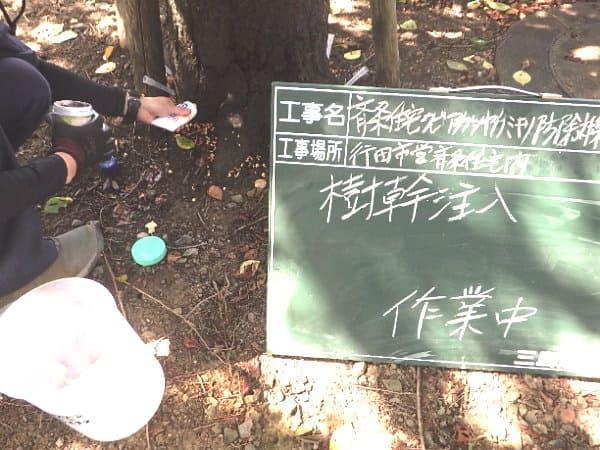 ソメイヨシノ樹幹注入作業中