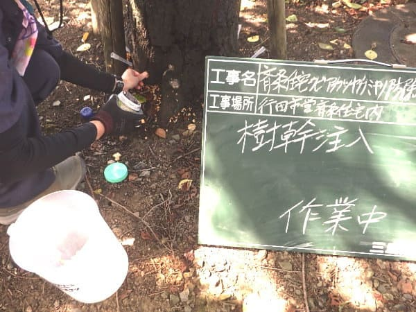 ソメイヨシノ樹幹薬剤注入作業中