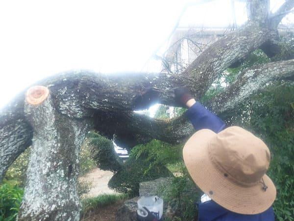 木の切り口には殺菌剤を塗布