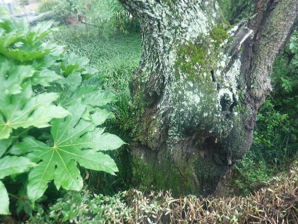 ウメの幹や枝に「地衣類(ウメノキゴケなど)」が多く付着